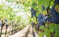 Wine maker E&J Gallo acquires Napa Valley's largest vineyard