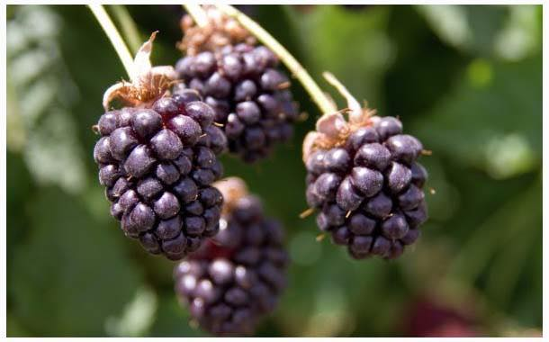 Boysenberry consumption may benefit asthma sufferers