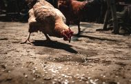 Tyson to test new method to stun chickens amid welfare concerns