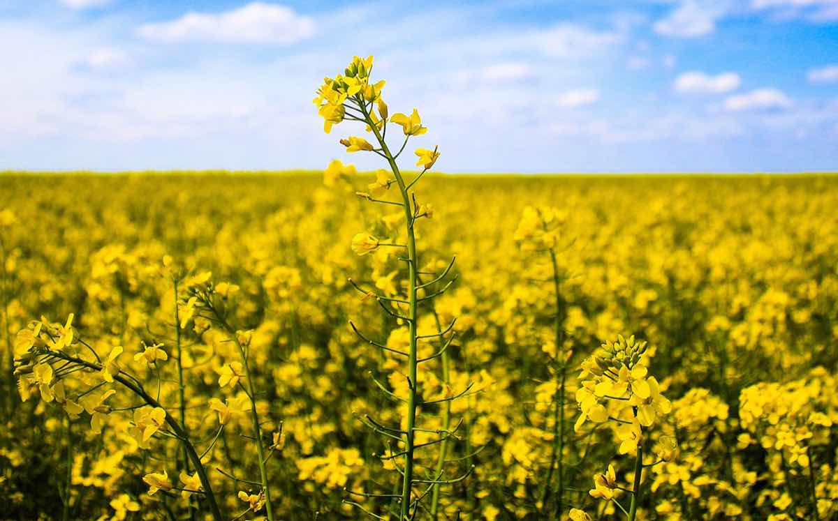RCMA Group invests £25m in UK sustainable rapeseed facility